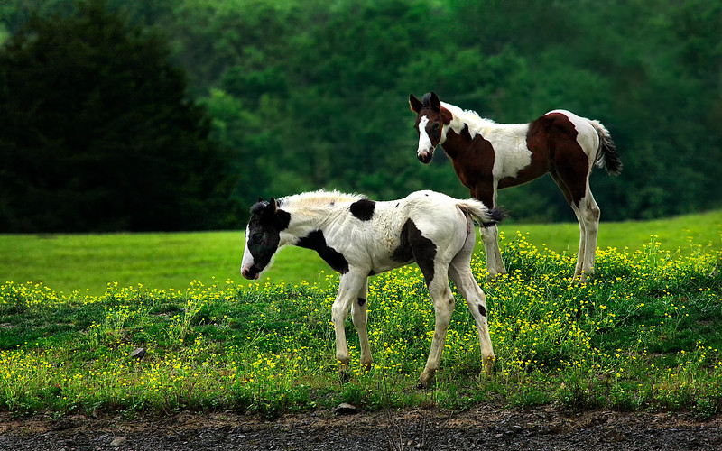 Pair of Painted Colts