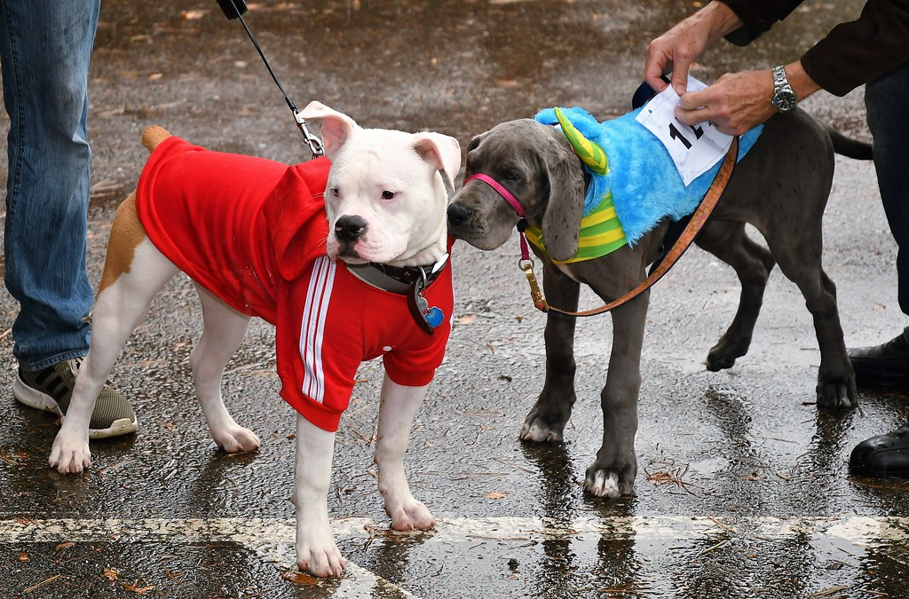. The inaugural Howl-o-Ween Pet Parade and Walk drew animals of all sizes to Coolidge Park on Sunday, Oct. 29, 2017. The pet parade, which included a costume contest, benefited the proposed Fitchburg Dog Park. Sentinel & Enterprise / Jim Fay