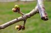 Spring buds close-ups