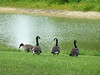 Canadian Geese in pond.
