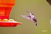 HUMMING BIRD (FEMALE)