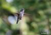 HUMMING-BIRD-8250614n