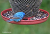 INDIGO BUNTING W/ BAND ON RIGHT LEG