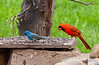 INDIGO BUNTING & NORTHERN CARDINAL (MALE)