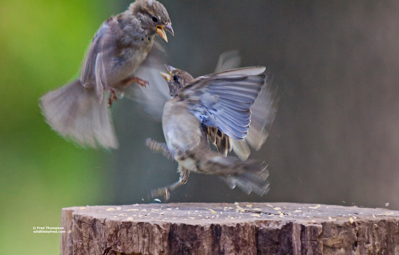 JUVENILE SPARROW FOOD FIGHT