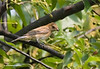 Female Indigo Bunting---Thanks to Dale Warner for the ID.