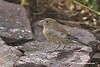 Juvenile Indigo Bunting (male)