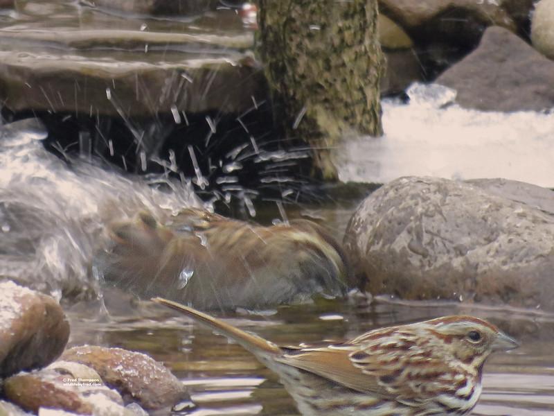 It was minus 7 degrees when this bird took this bath
