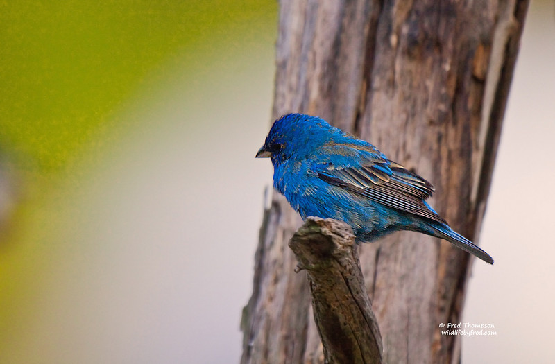 INDIGO BUNTING (MALE) PRE BREEDING PLUMAGE