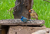 INDIGO BUNTING & NORTHERN CARDINAL (FEMALE)
