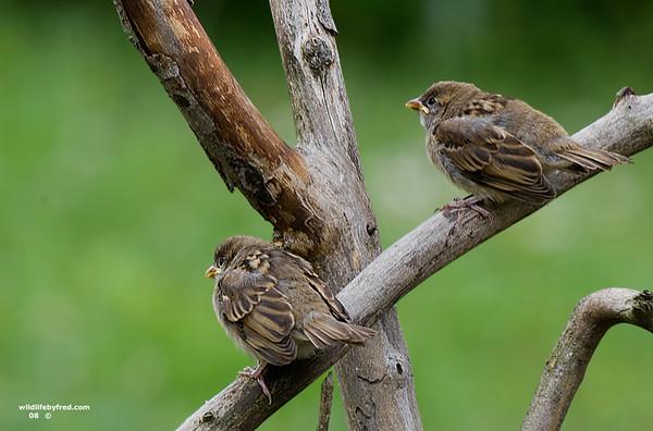 Juvenile Sparrows