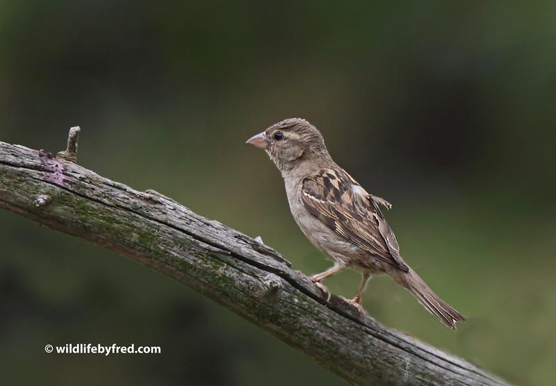 Juvenile Sparrow