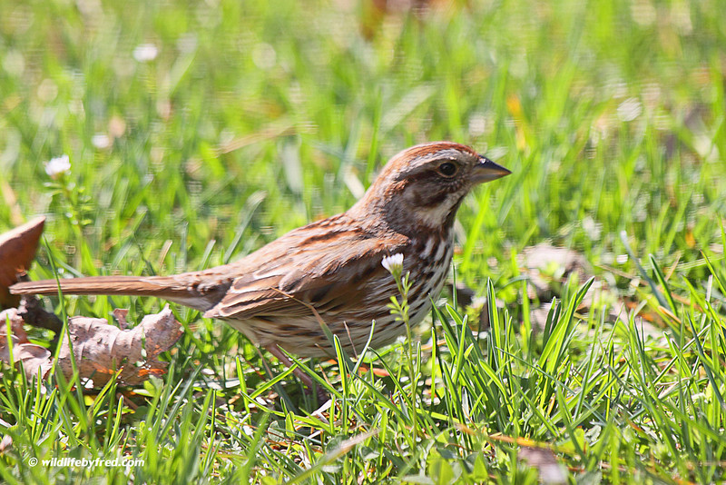 Song Sparrow--Thanks to Lynn Hess for the ID of this bird