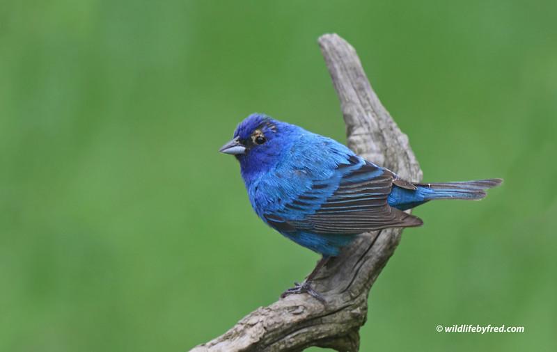 HUMMING BIRDS--BUNTINGS--SPARROWS