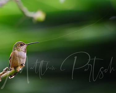 THREAD Beautiful hummingbird photography from the South Coast Botanical Gardens in Southern California.