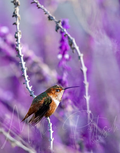 Beautiful hummingbird photography from the South Coast Botanical Gardens in Southern California.