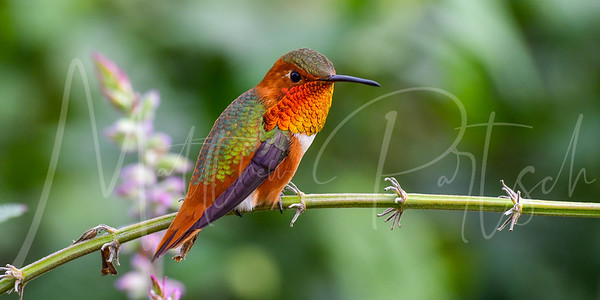 Beautiful Allen's hummingbird photography from the South Coast Botanical Gardens in Southern California.