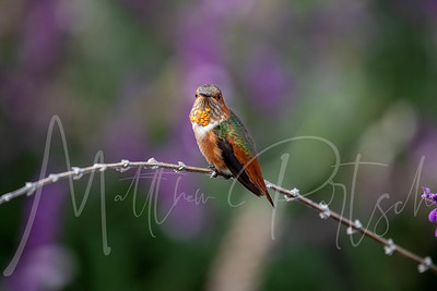 Allen's Hummingbird  I love foggy mornings.  The hummingbirds are extremely active and flying around.  @scbgarden