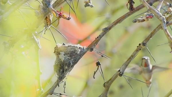 Allen's hummingbird feeds her two babies