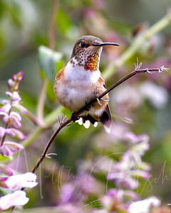 Girly Hummingbird.
