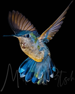 The blue Hummingbird