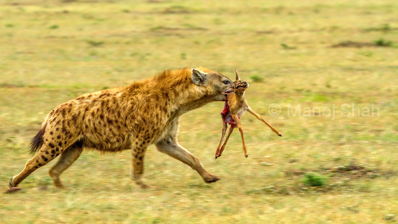 Spotted hena with a gazelle kill is running Masai Mara.