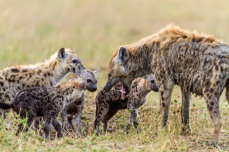 spotted hyena mother starts to regurgigate food to her cubs in Masai Mara.