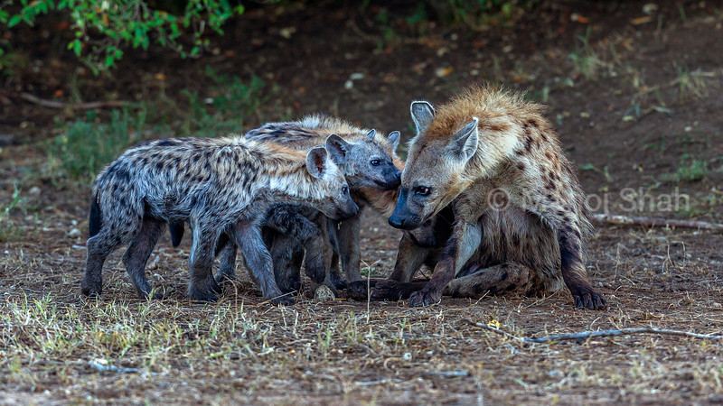 Spotted Hyena puppies smelling an adult in Masai Mara.