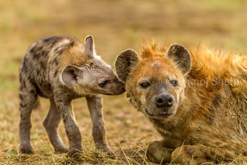 spotted hyena cub smelling mother in Masai Mara.
