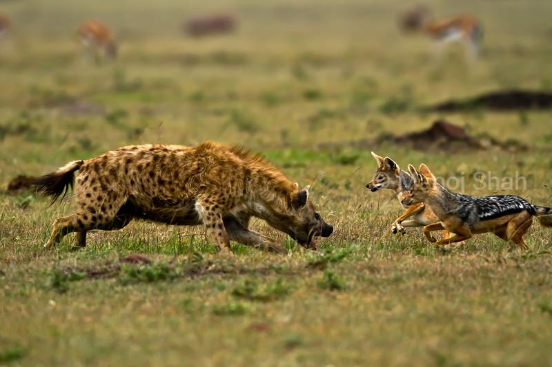 Hyena defending its kill from Jackals