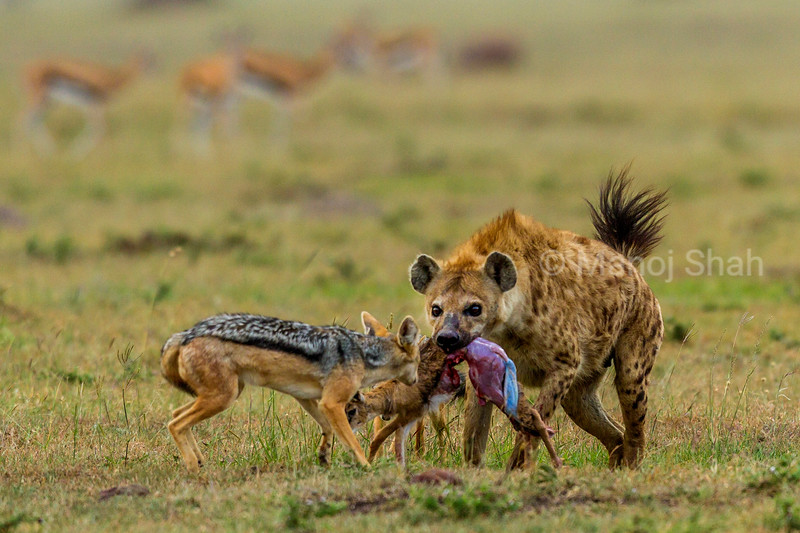 Spotted hyena with a gazelle kill is confronted by a black backed jackal.