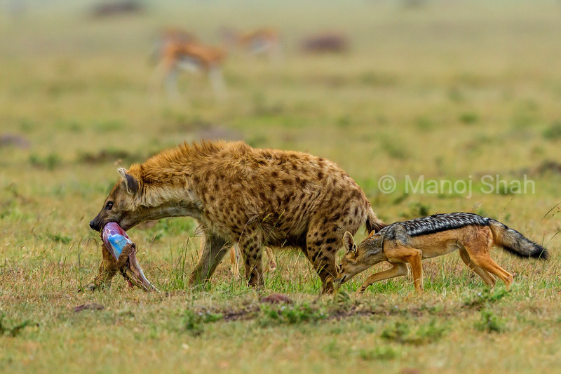 Black backed jackal about to bite the rear foot of the spotted hyena carrying a Thomson's gazelle kill.