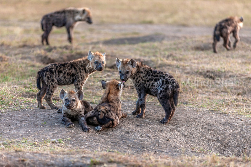 Spotted hyena cubs resting at den site in Masai Mara