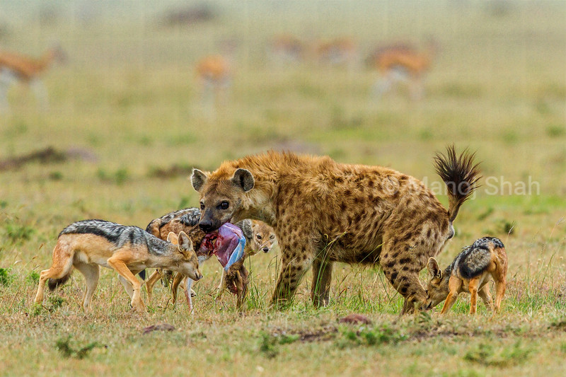 Spotted hyena with a gazelle kill is confronted by three black backed jackals. One of the jackals is busy nibbling the hind feet of the hyena.