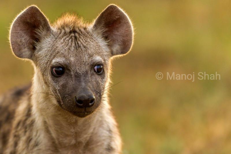 spotted hyena cub portrait in Masai Mara