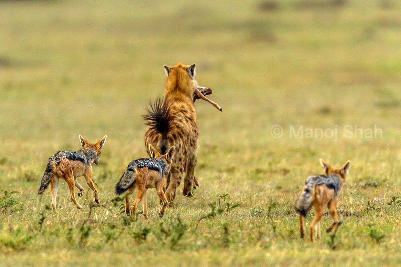 Spotted hyena with a Thomson's gazelle kill  runs away from inquisitive black backed jackals in Masai Mara.
