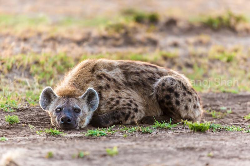 Hyena resting by the roadside