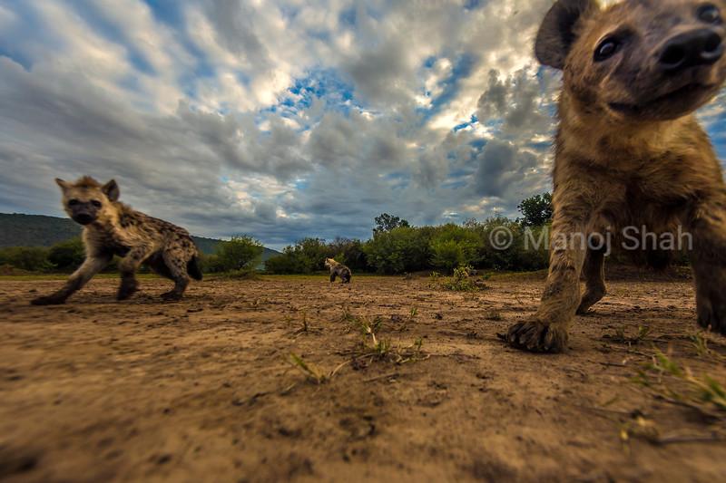 Spotted Hyena inquisitive about the remote camera in Masai Mara Lamdscape.