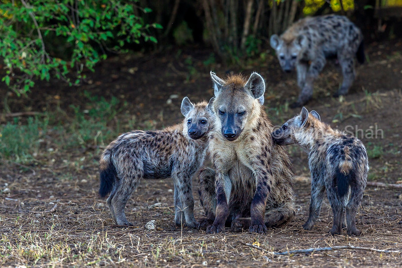 Spotted Hyena puppies playing with an adult in Masai Mara.