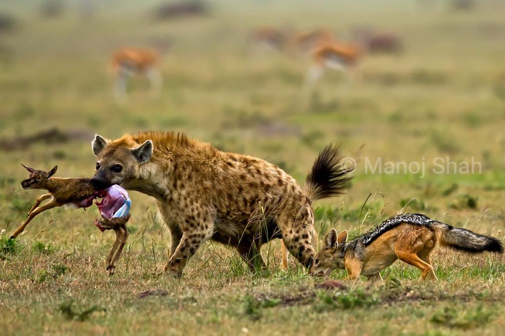 Jackal biting Hyenas leg
