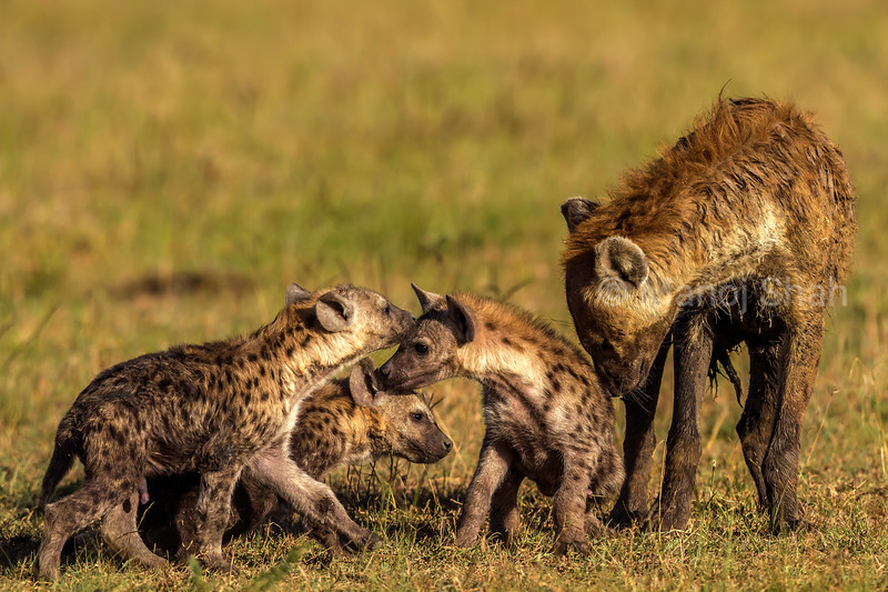 Spotted hyena cubs nuzzling with mother in Masai Mara.