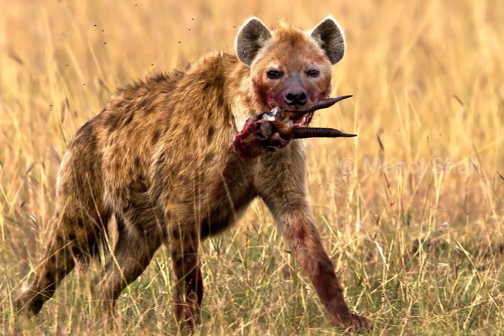 Hyena with a gazelle head