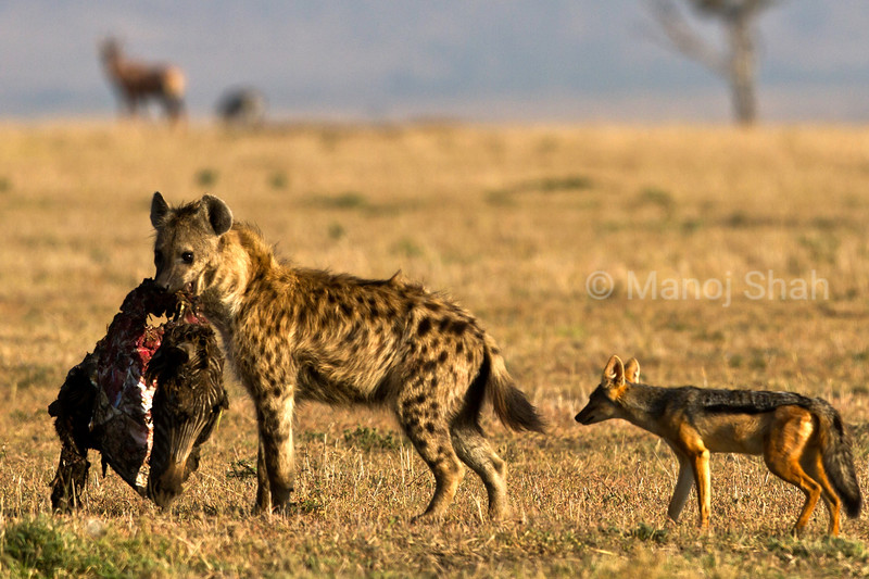 Javkal following Hyena with kill.