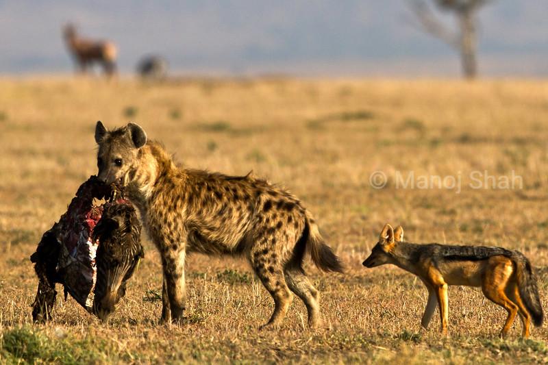 Javkal following Hyena with kill.