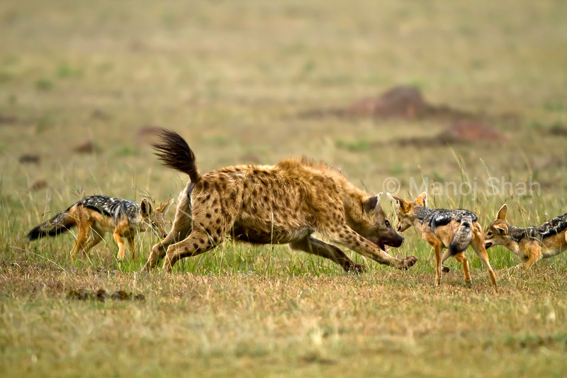 hyena trying to scare off jackals
