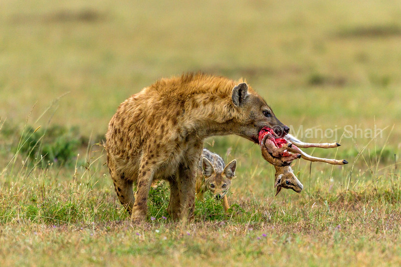 A black backed Jackal watches a spotted hyena with a Thomson's gazelle kill in Masai Mara