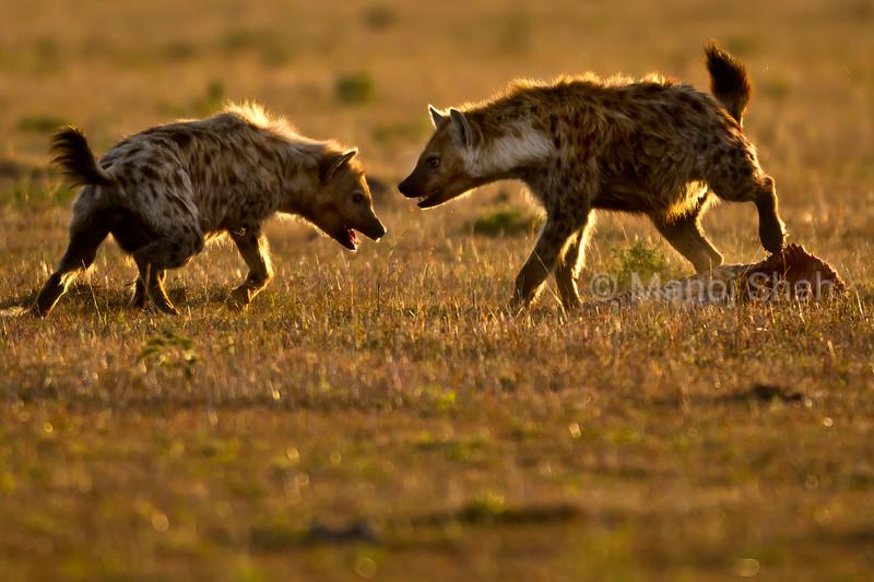 Hyenas squabbling over a zebra kill
