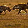 Hyenas squabbling over a zebra kill