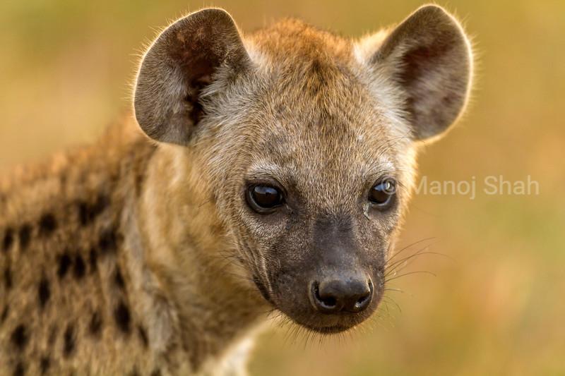 spotted hyena portrait in Masai Mara