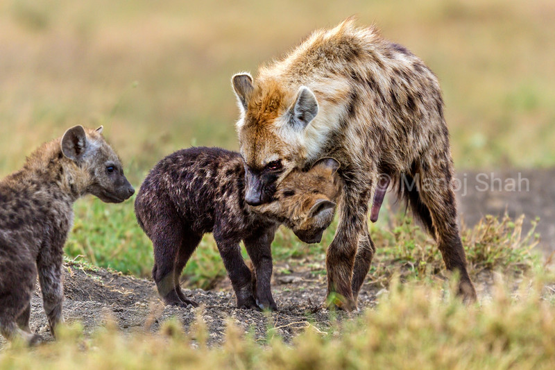 Adult spotted hyena greets puppy in Masai Mara